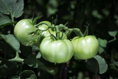 Tomatoes ripening in the plant in an orchard. Closeup of some green tomatoes ripening in the plant in an organic orchard stock photography