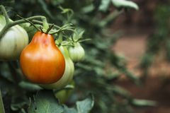Tomatoes ripening in the plant in an orchard. Closeup of some green tomatoes ripening in the plant in an organic orchard royalty free stock photography