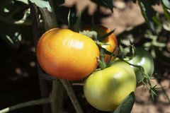 Tomatoes ripening in the plant in an orchard. Closeup of some unripe tomatoes ripening in the plant in an organic orchard royalty free stock images