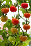 Tomatoes ripening on a vine. Green and red tomatoes ripening on a vine Royalty Free Stock Images
