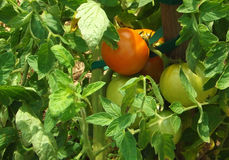 Tomatoes Ripening on the Vine Stock Images