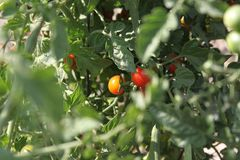 Tomatoes ripening on the vine. Stock Images