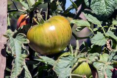 Tomatoes ripening on the vine Royalty Free Stock Photos