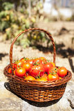 Tomatoes from the farm Stock Photos