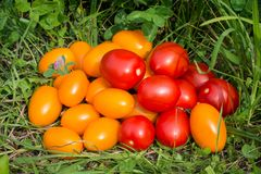 Tomatoes scattered on the grass. Red and yellow tomatoes scattered on the grass. close-up picture Royalty Free Stock Photos