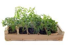 Tomatoes seedling Stock Photo