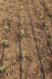 Tomatoes seedlings in the greenhouse Royalty Free Stock Photo