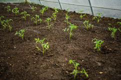 Tomatoes seedlings in the greenhouse Royalty Free Stock Image