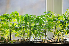 Tomatoes seedlings growing in a container Royalty Free Stock Photos