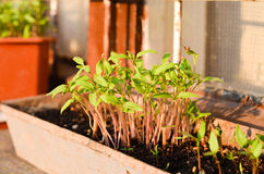 Tomatoes seedlings growing in a container Royalty Free Stock Images