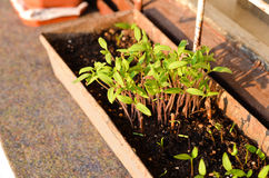 Tomatoes seedlings growing in a container Stock Photo