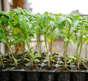 Tomatoes seedlings Stock Photography