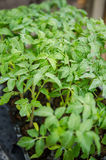 Tomatoes seedlings Stock Images