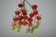 Tomatoes. Showing the stages of growth royalty free stock photo