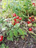 Tomatoes. Small tomatoes growing in the earth with green leaves royalty free stock photography