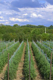 Tomatoes field Stock Images