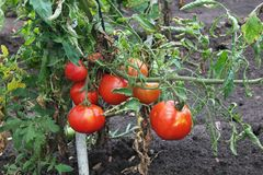 Tomatoes on stem. Ripe tomatoes on stem on garden Royalty Free Stock Image