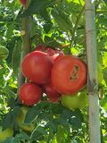 Tomatoes in the sun in Toscane, Italy