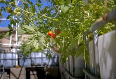 Tomatoes on a thriving plant. Aquaponics and Hydroponics support heavy vegetation Royalty Free Stock Photos