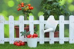 Tomatoes and tomato plants. On grass with fence and decorations Stock Photos