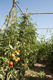 Tomatoes. Traditional Mediterranean planting tomatoes in Bellvis, Catalonia, Spain Royalty Free Stock Photos