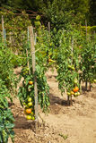 Tomatoes in a traditional orchard Royalty Free Stock Images