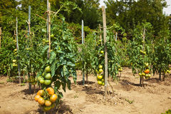 Tomatoes in a traditional orchard Royalty Free Stock Photography