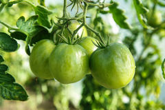 Tomatoes on tree. Green fresh tomatoes on tree royalty free stock image