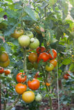 Tomatoes on tree plant Royalty Free Stock Photo