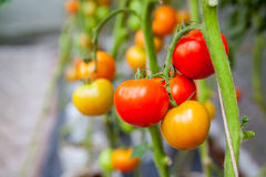 Tomatoes on the tree ready to be sold Royalty Free Stock Images
