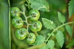 Tomatoes on the tree Stock Images
