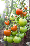 Tomatoes turn red in the greenhouse Stock Image