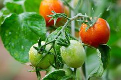 Tomatoes on twigs. Red and green tomatoes grow on twigs royalty free stock photography