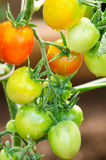 Tomatoes on twigs. Red and green tomatoes grow on twigs stock photos