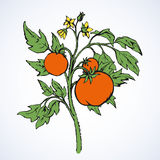 Tomatoes. Vector drawing Stock Photography
