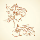 Tomatoes. Vector drawing. Ripe raw big juicy fresh red tasty solanum tomato on twig  on white backdrop. Freehand outline ink hand drawn picture sketchy in Stock Photos