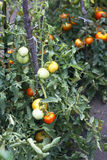 Tomatoes in the vegetable garden Royalty Free Stock Photo
