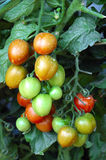 Tomatoes in vegetable garden. Little tomatoes planted in garden Stock Image