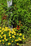 Tomatoes in Vegetable Garden Stock Photography