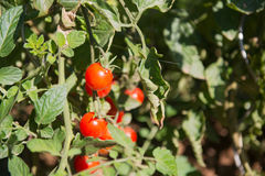 Tomatoes in the vegetable garden Royalty Free Stock Photography