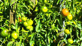 Tomatoes in Vegetable Garden Stock Images