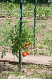 tomatoes in a vegetable garden Stock Image
