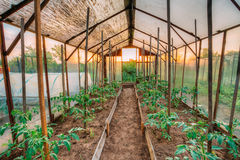 Tomatoes Vegetables Growing In Raised Beds In Vegetable Garden A. Nd Hothouse Or Greenhouse. Summer Season Stock Images