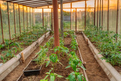 Tomatoes Vegetables Growing In Raised Beds In Vegetable Garden A. Nd Hothouse Or Greenhouse. Summer Season Stock Photography