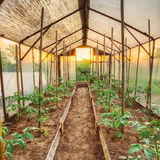Tomatoes Vegetables Growing In Raised Beds In Vegetable Garden. And Hothouse Or Greenhouse. Summer Season Stock Image