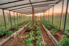 Tomatoes Vegetables Growing In Raised Beds In Vegetable Garden. And Hothouse Or Greenhouse. Summer Season Royalty Free Stock Photo