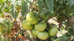 Tomatoes in the village stock video footage