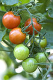Tomatoes on a vine. Royalty Free Stock Photography