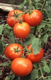Tomatoes on the vine Royalty Free Stock Photography