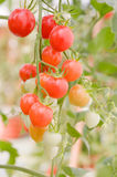 Tomatoes on the vine Stock Photo